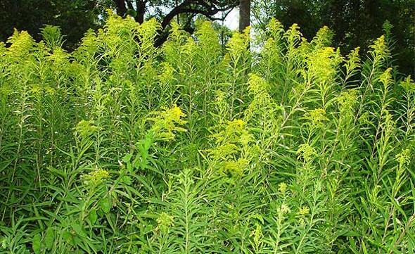 neophyten gebietsfremde pflanzen in der schweiz und ganz europa gesundes haus. Black Bedroom Furniture Sets. Home Design Ideas